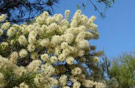 tree with white flowers lovely foliage and flowering trees melaleuca