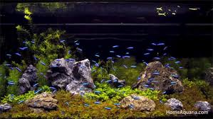 Live Plants In Community Aquariums by 5 Most Popular Tetra Fish Types Home Aquaria