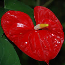 anthurium flower aloha hawaiian flowers