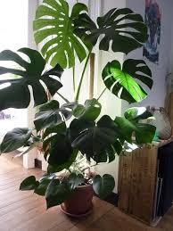 nobby indoor tropical house plants identifying common low light