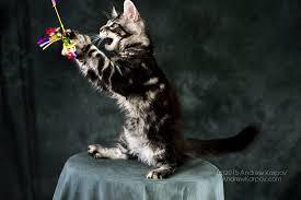 telecharger papier peint bureau gratuit maine coon chats de papier peint maine coon téléchargement 7191454