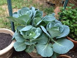you can grow collards in a pot its good to dig in the dirt