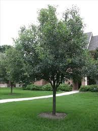 oak trees vs bermuda grass