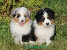 australian shepherd not eating faithwalk aussies bringing puppy home