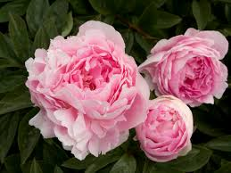 peony flowers how to grow peonies sunset magazine