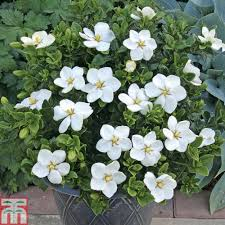 gardenia jasminoides u0027kleim u0027s hardy u0027 plants thompson u0026 morgan