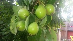 Apple Tree In My Backyard Flower To Fruit ᴴᴰ Pear Tree Development 2013 Youtube