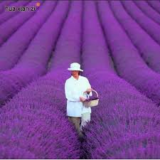 Fragrant Potted Plants - aliexpress com buy french provence lavender seeds potted plant