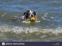 australian shepherd swimming shetland sheepdog collie sheltie canis lupus familiaris stock