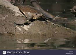 Ringed Map Turtle Map Turtle Stock Photos U0026 Map Turtle Stock Images Alamy