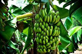 banana tree free download clip art free clip art on clipart