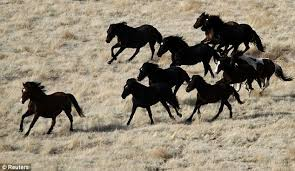 Black Mustang Horse All The Wild Horses Stunning Images Of Corralling Of Mustangs And
