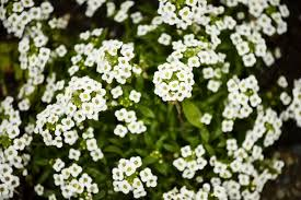 small white flowers small white flower flowers forums
