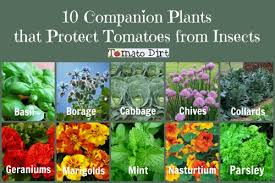 Plants That Repel Aphids by 10 Companion Plants That Protect Tomatoes From Pests