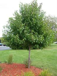 tree identification pyrus calleryana ornamental pear