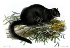 Black flying squirrel