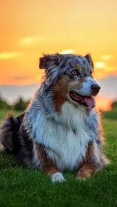 australian shepherd iphone 4 case 19 reasons australian shepherds are the best looking dogs in the