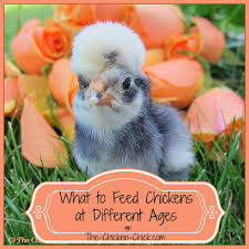 what to feed backyard chickens the chicken feeding chickens at different ages