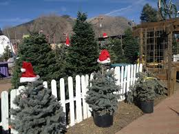 flagstaff christmas trees cut christmas trees flagstaff az