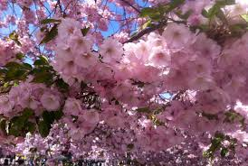 cherry blossom pics where to see cherry blossoms in sweden routes north