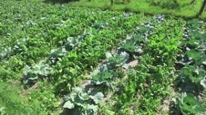 cabbage growing in garden on small vegetable garden on farm stock