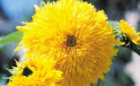 teddy sunflowers shop sunflower teddy sungold and other seeds at