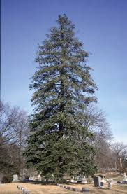 balsam tree trees of ohio balsam fir