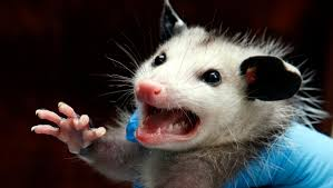 man sets fire to smoke out opossums burns down house instead