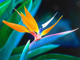 bird of paradise flower bird of paradise flower pictures meanings
