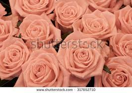 Peach Roses Background Pink Orange Peach Roses Stock Photo 497336377