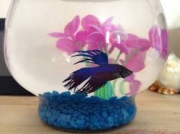 Betta Fish Vase With Bamboo Bettas In Bowls Or Small Tanks My Aquarium Club