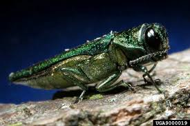 Emerald Emerald Ash Borer