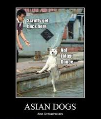 Asian Dog Meme - asian dog funny pinterest asian dog and animal
