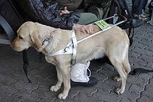 How Do Blind Dogs Know Where To Go Service Dog Wikipedia