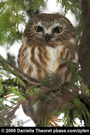 owl christmas northern saw whet the christmas tree owl birdnote