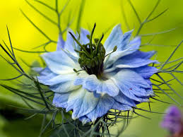 flowers uk blue flowers for your garden saga