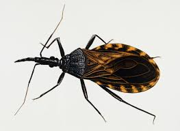 Pictures Of Tiny Red Bugs by Remain Calm Kissing Bugs Are Not Invading The Us Wired