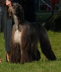 afghan hound 9 months jolie afghan hounds woody x samantha