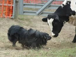 australian shepherd herding 14 best aussies images on pinterest aussies animals and