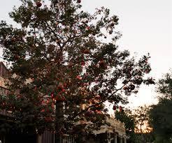 halloween trees the story behind disneyland u0027s halloween tree ladybug blog