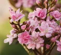 Pink Spring Flowering Shrubs - shrubs southern living plants