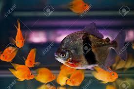 shoal of tropical piranha fishes in freshwater aquarium stock