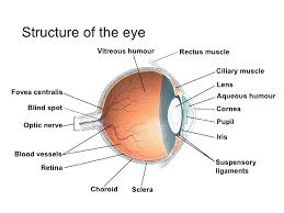 Blind Spot In Eyes Chapter 14 The Human Eye Lesson 1 Anatomy Of The Human Eye