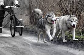 free images vehicle vertebrate sled dog sled dogs siberian