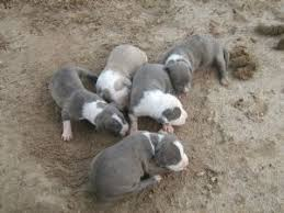 american pitbull terrier ireland american pit bull terrier puppies in texas