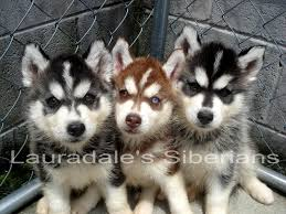 american eskimo dog for sale in hyderabad best 25 miniature husky for sale ideas on pinterest baby