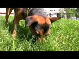 australian shepherd x kelpie adopted jackie australian kelpie shepherd mix dog for adoption