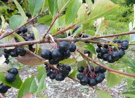 native american food plants meet the fruit aronia a