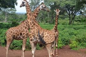 kenya the giraffe center in nairobi travelmag com