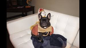 Frenchie Halloween Costume Cuteness Break French Bulldog Halloween Costume Party